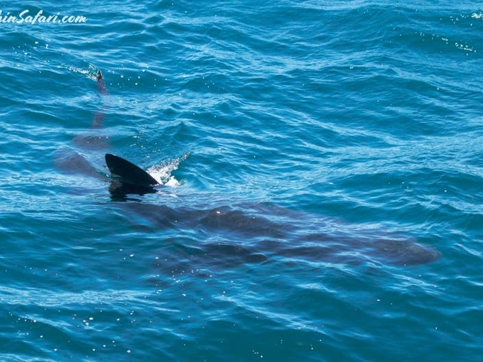 Rare Basking Shark Sighting In Dana Point