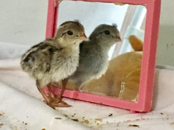 Rescued Baby Quail Shows Her Good Side Los Alamitos Ca Patch
