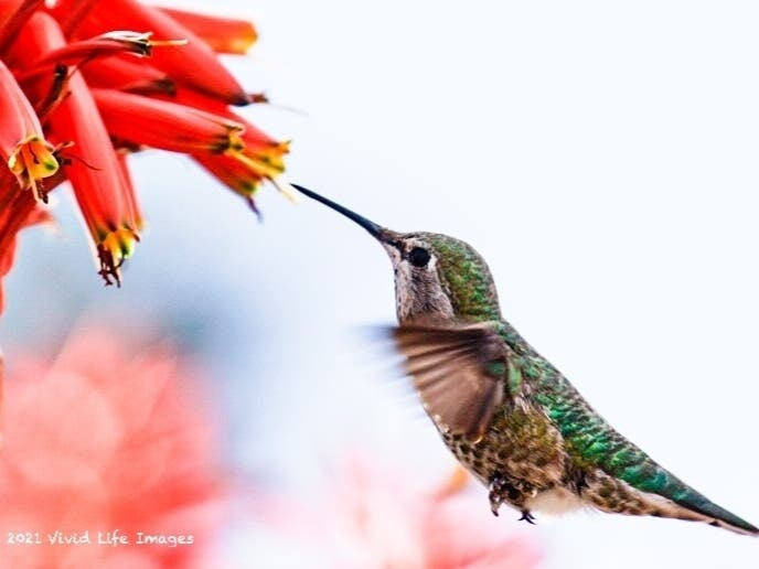 Hummingbirds And Aloe Plants: Zen Moments In Laguna Beach