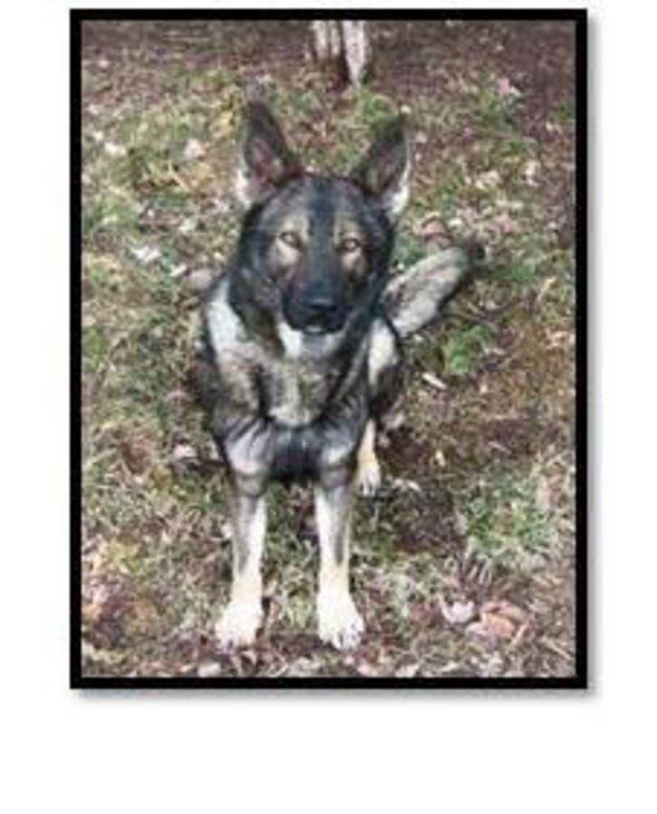 Former K9 Dog Mako Dies: Manassas City Police | Manassas, VA Patch