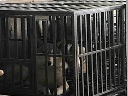 Illegal Wolf-Dog Hybrids Seized From Nassau Home