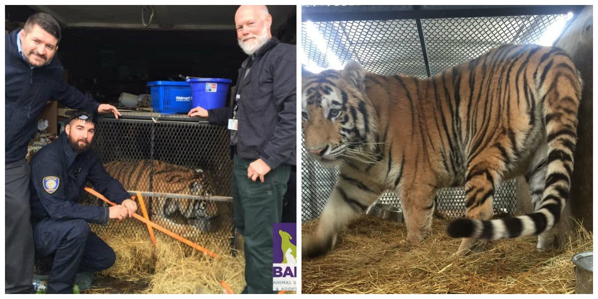 Tiger Finds New Home At North Texas Animal Sanctuary | Houston, TX Patch