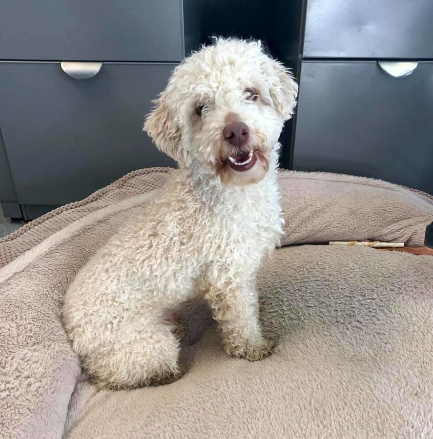 Mini Poodle Puppy Looking For Love In Morris Co Long