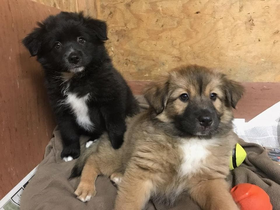 American Eskimo Mix Puppies Looking For