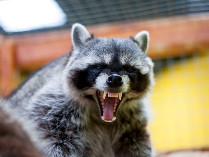 Rabid Raccoon Found In Parsippany | Parsippany, NJ Patch