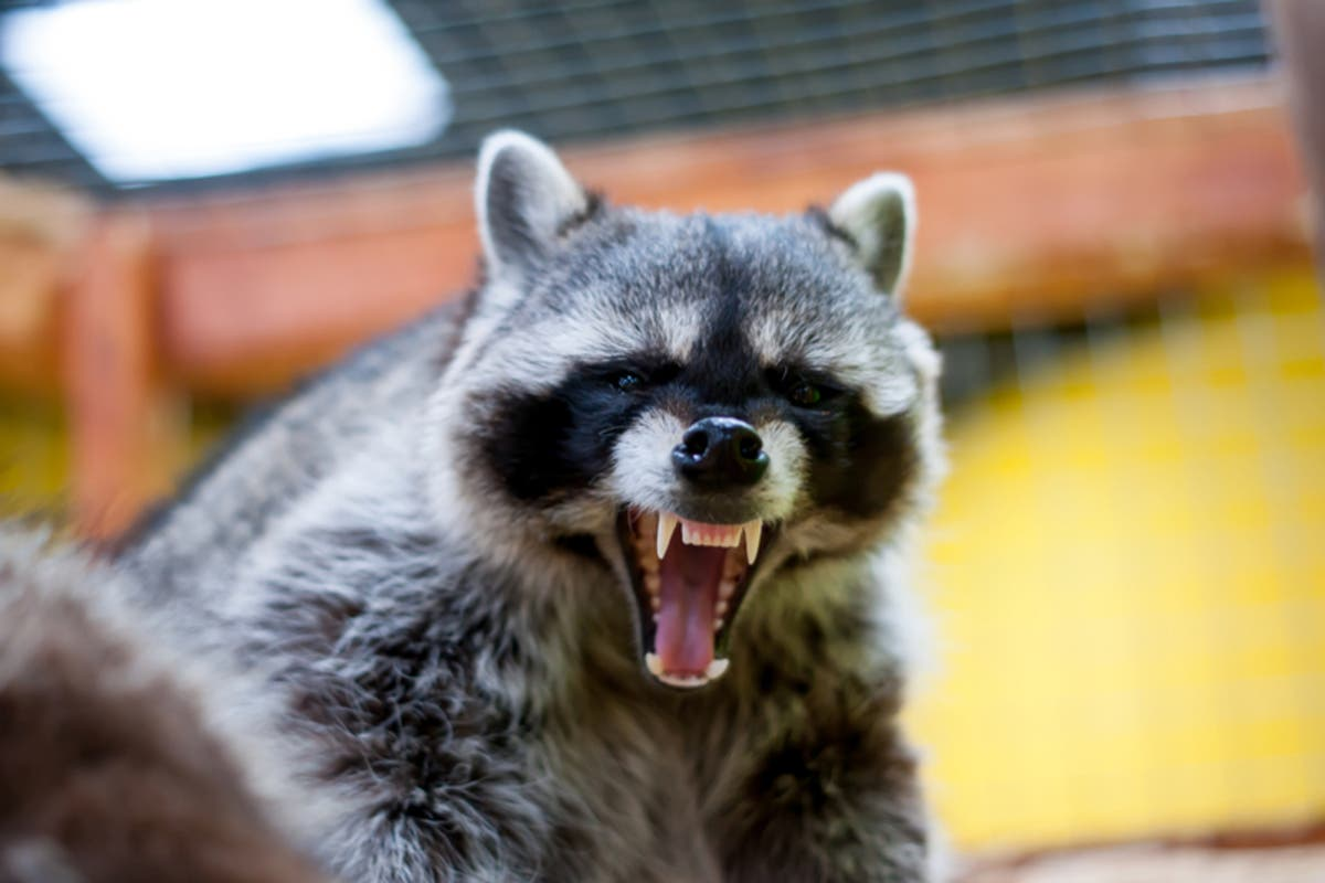 Zombie' Raccoons Spotted In Cleveland's Eastern Suburbs