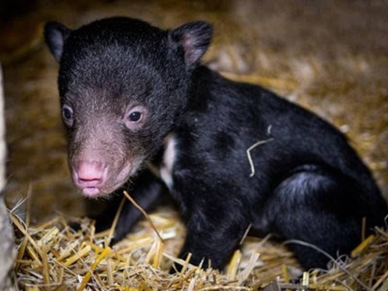 Adorable, Rare Bear Cub Born In Ohio: Patch PM