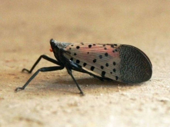 Norristown Farm Park Testing Ground For Spotted Lanternfly Fight