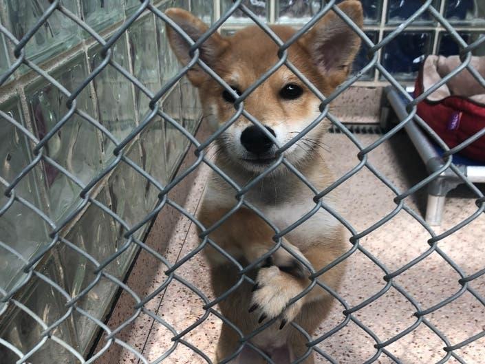 Stolen Shiba Inu: Man Arrested, Dog Still Missing