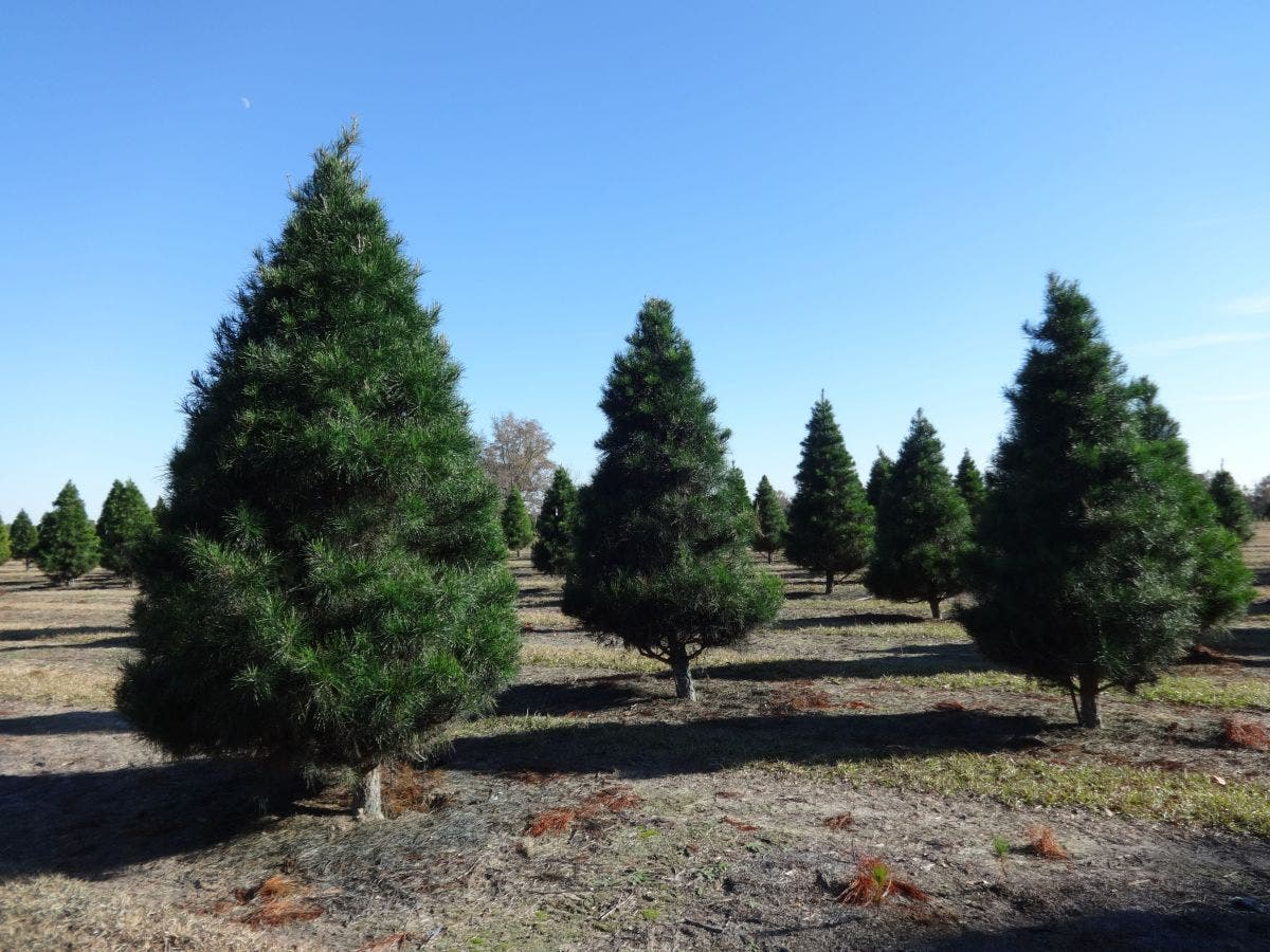 Where To Get A Christmas Tree In Danvers