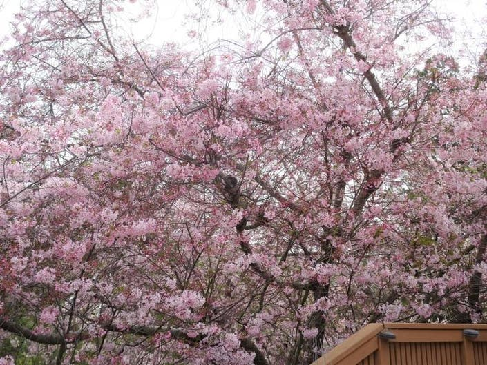 Weeping Cherry Blossom in Fremont: Patch Photo of the Week