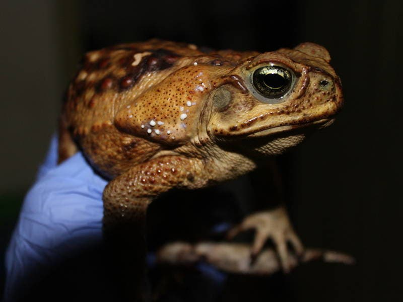 Epic Toad Invasion Hits Upscale Florida Community