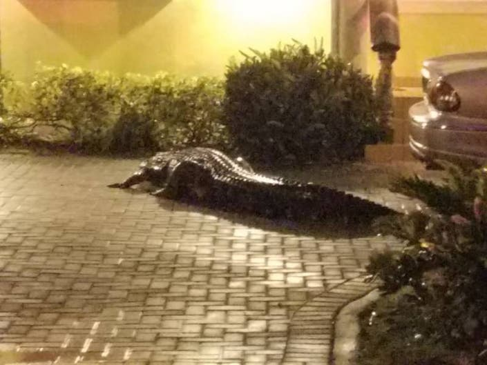 Miami Firefighters Mistake Alligator For Person Who Needed Help