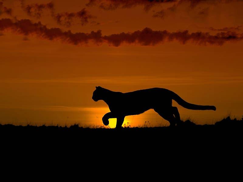 Cougar Attacks In Washington Very Rare Rarely Deadly