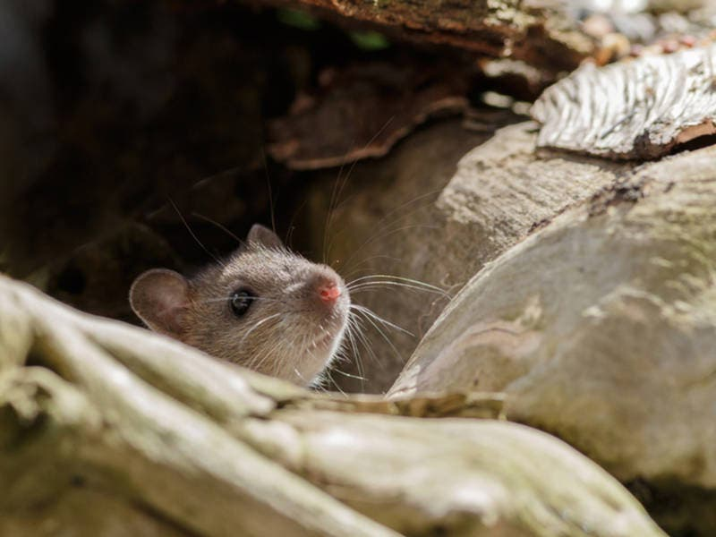 Watch For Rodent Poop During Spring Cleaning: King County