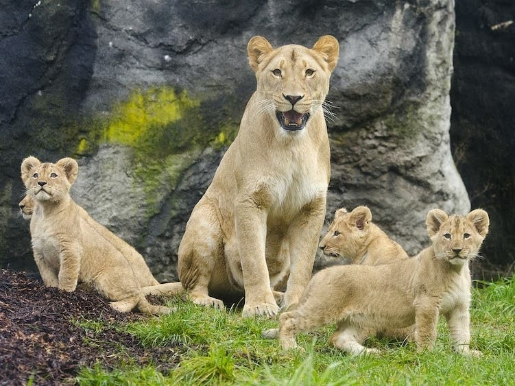 3 Lions Died At 3 Different West Coast Zoos This Week