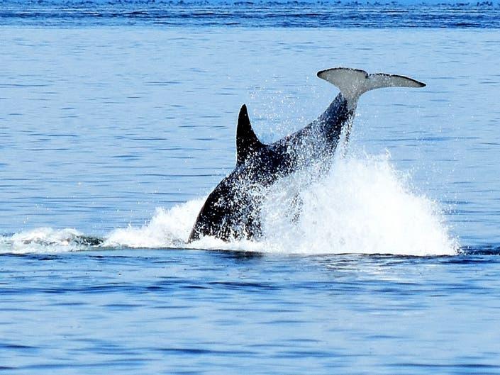 Washington Photos Of The Week: Jumping Orcas, Mountains, Big Bugs