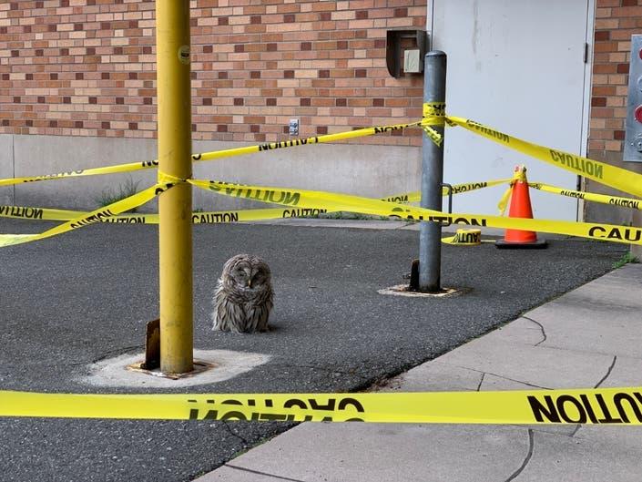 Barred Owl At UW Bars Pedestrian Traffic On Campus