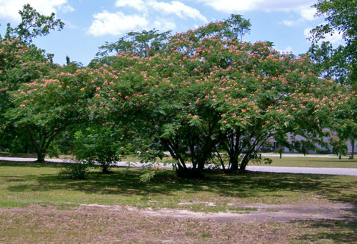 Plant A Mimosa Tree
