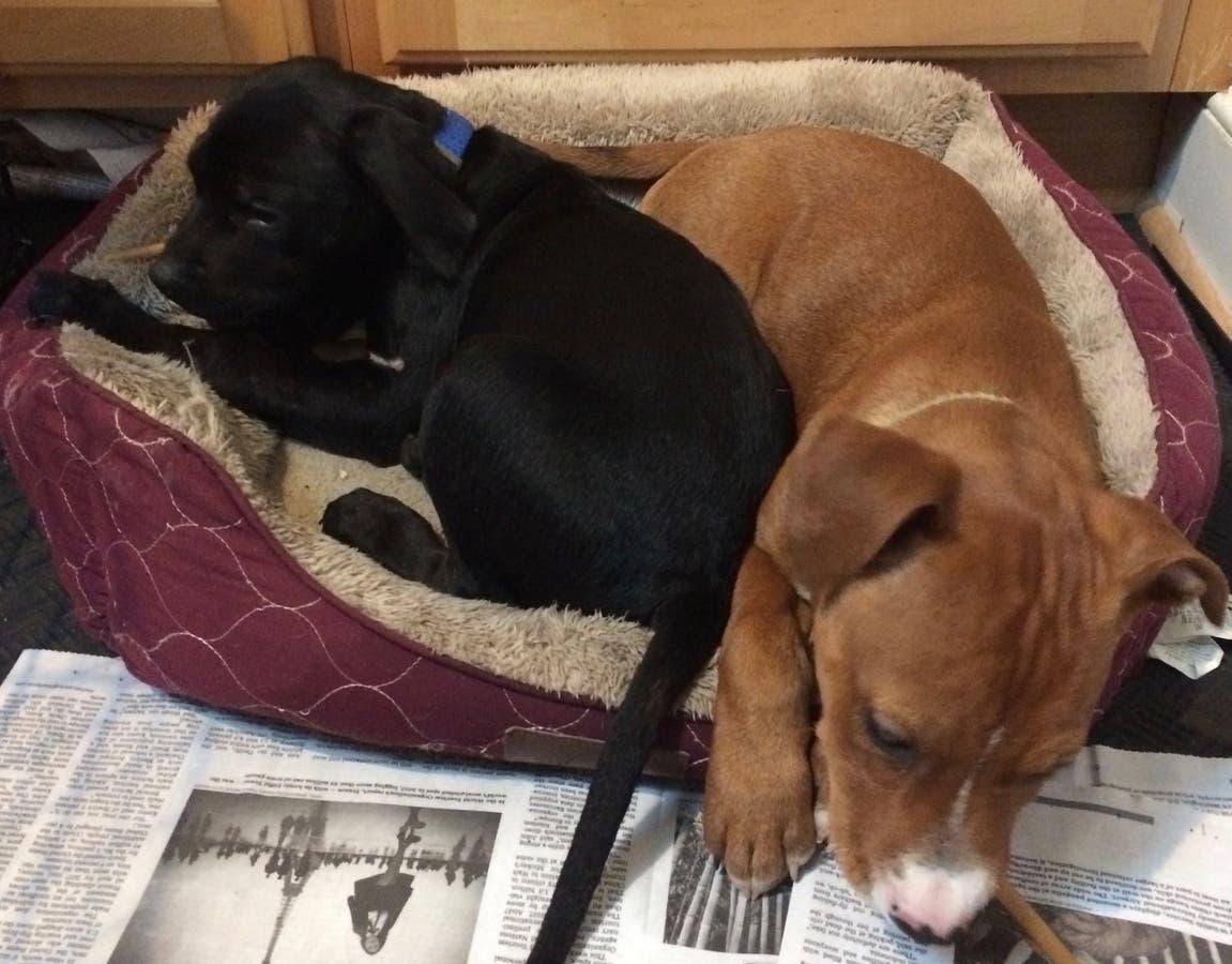 All Puppy Adoption Event at Bethesda PetSmart, Feb 3rd, 11-1