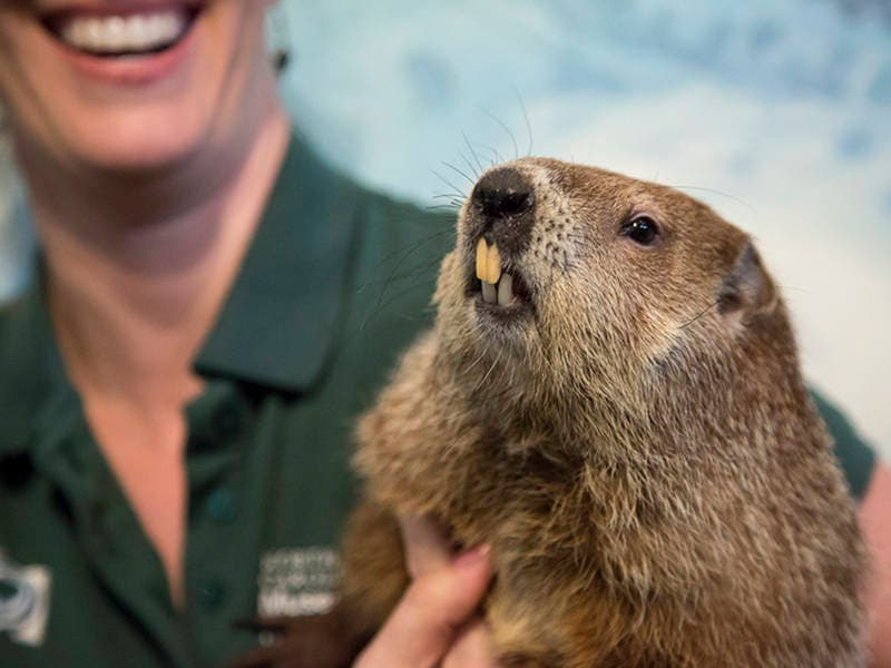 groundhog day sir walter wally makes prediction for nc charlotte