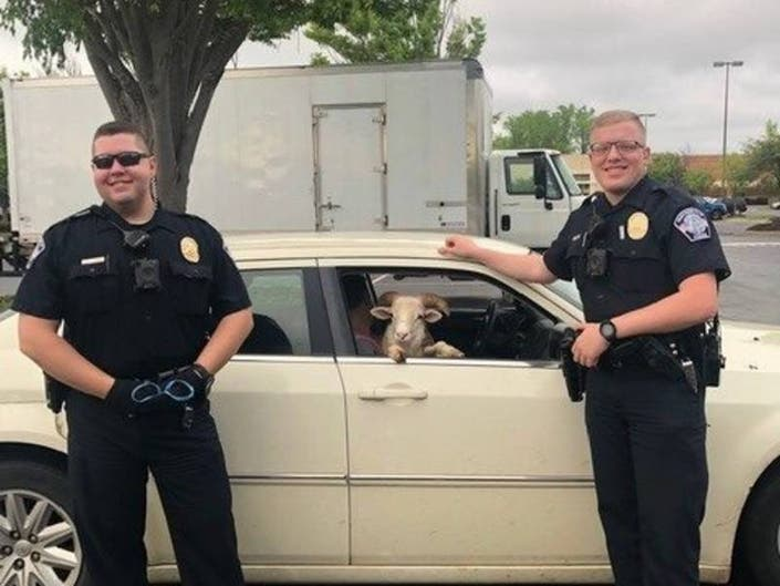 Huntersville Police Nab Goat — Yes, Goat — In Lowes Parking Lot