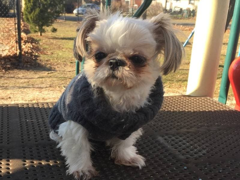 daisy patch shih tzu send us your puppy pics for national puppy day 6948