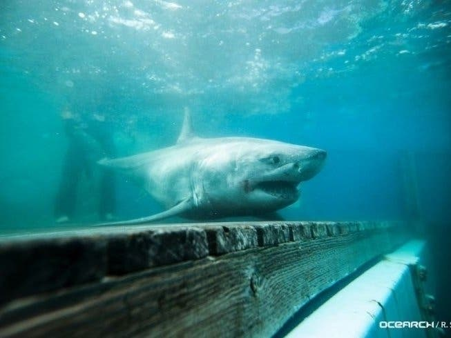 Great White Shark Spotted Just Miles From NYC | Patch PM