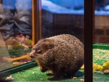 Staten Island Chuck emerged Tuesday to make his Groundhog Day forecast.