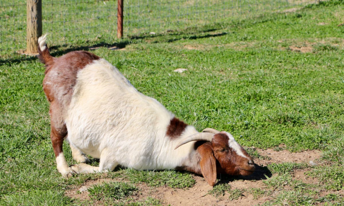 Christmas Goat.Recycle Your Christmas Tree By Feeding It To Goats