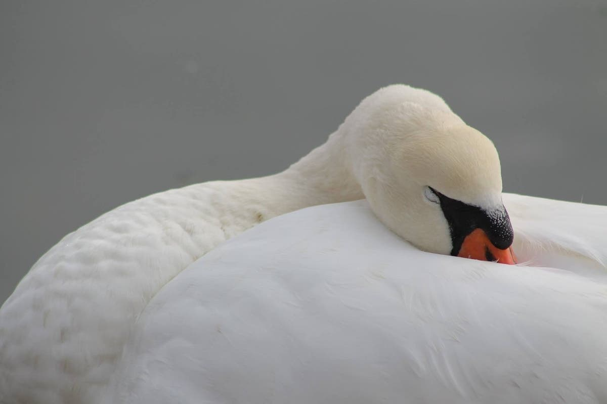 Trapped Swans Rescued From Frozen Prospect Park Lake: Report