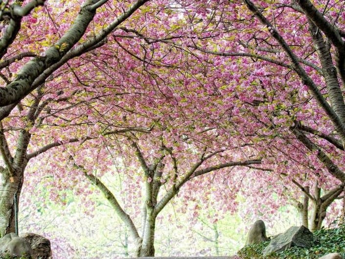 Cherry Blossom Trees Begin To Bloom At Brooklyn Botanic Garden