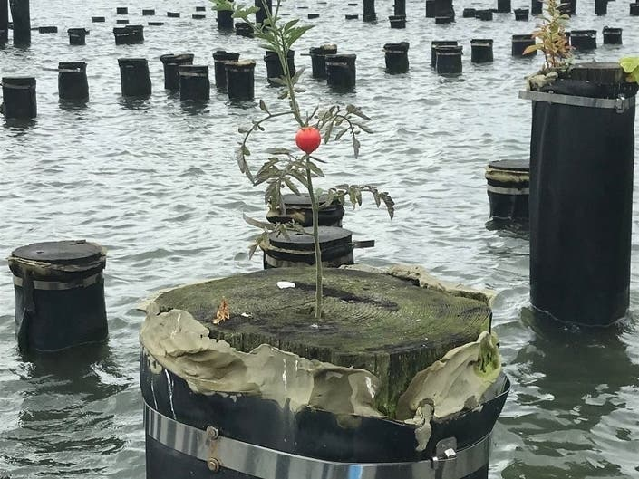 Mystery East River Tomato | Brooklyn Week In Review