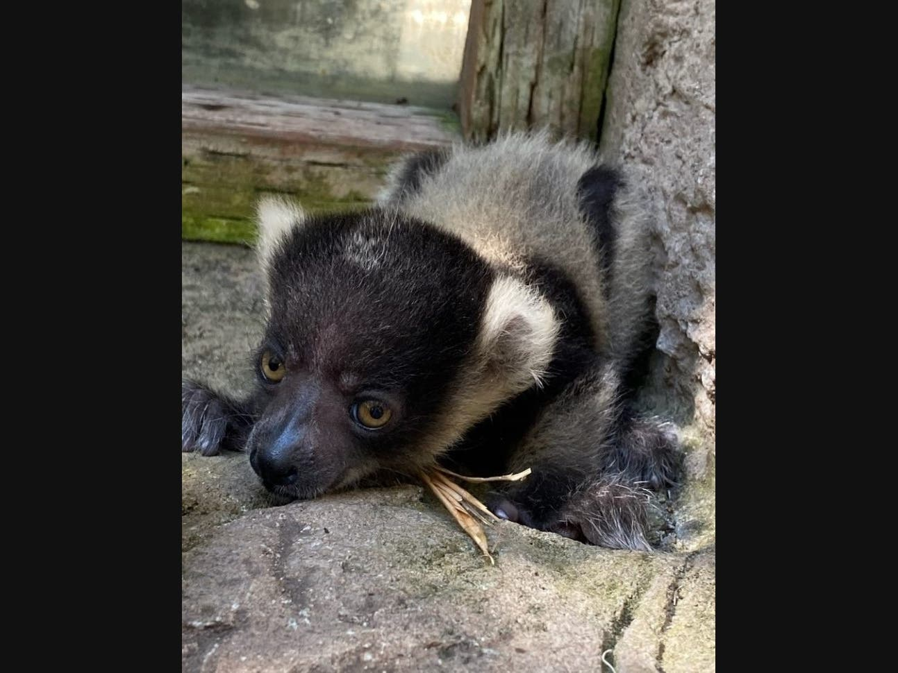 Can You Help Name The New Lemur Pup At Happy Hollow Zoo?