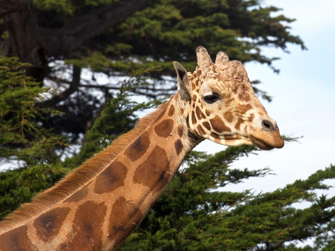 Floyd, Beloved Giraffe At San Francisco Zoo, Dies