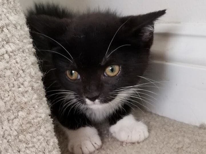 Meet One of Our Adorable, Adoptable Kittens - Hamlet