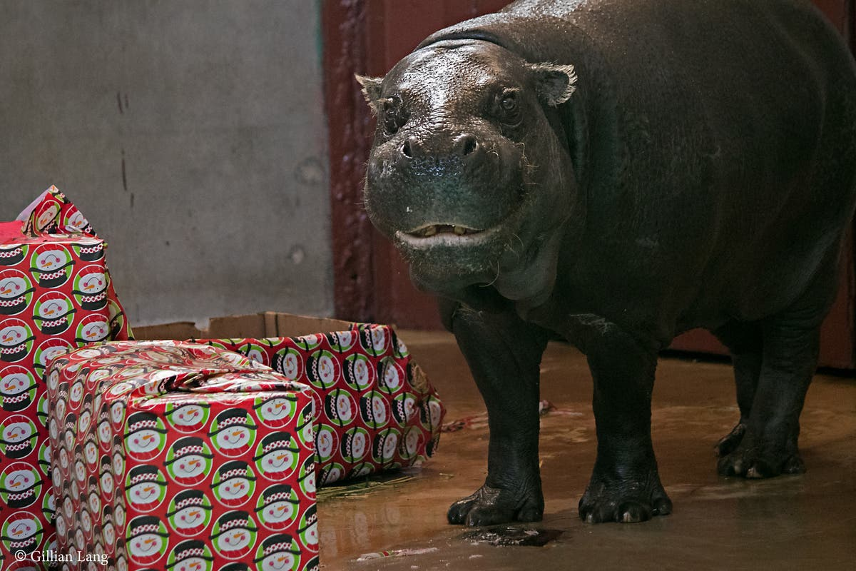 I Want Hippopotamus For Christmas.Oklahoma City Zoo Gets Another Hippopotamus For Christmas