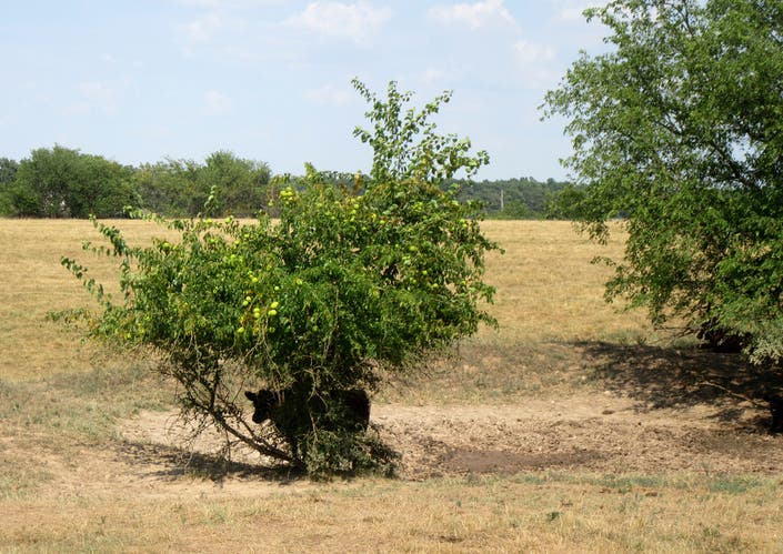 Drought Takes Tolls On Missouri Farmers Crops, Cattle