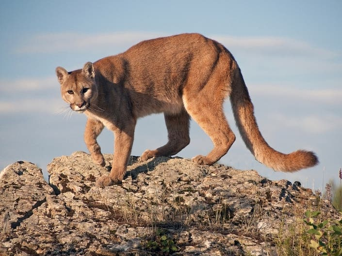 Chicken Restaurant Sued   Protection For Mountain Lions: LA Today