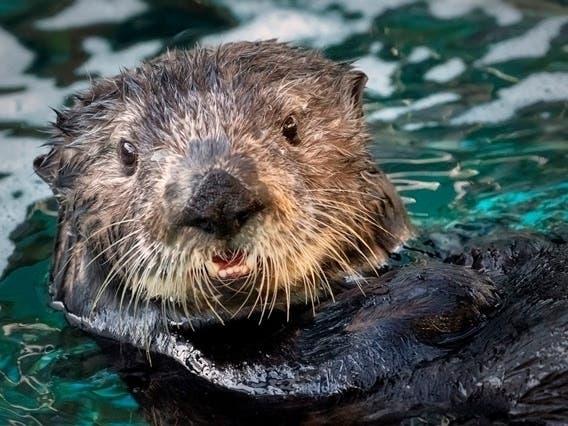 Meet Millie, Aquarium Of The Pacific's New Sea Otter