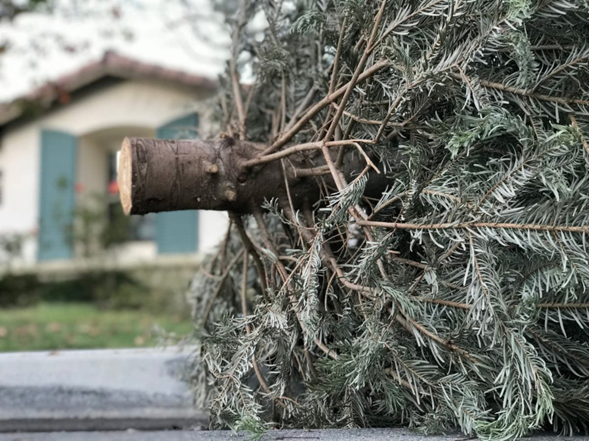 Where Did Christmas Trees Originate.Christmas Tree Recycling In Baltimore County To Begin