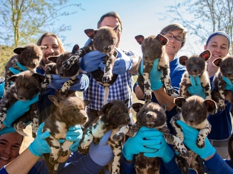 11 African Wild Dog Puppies Thriving At Living Desert Zoo