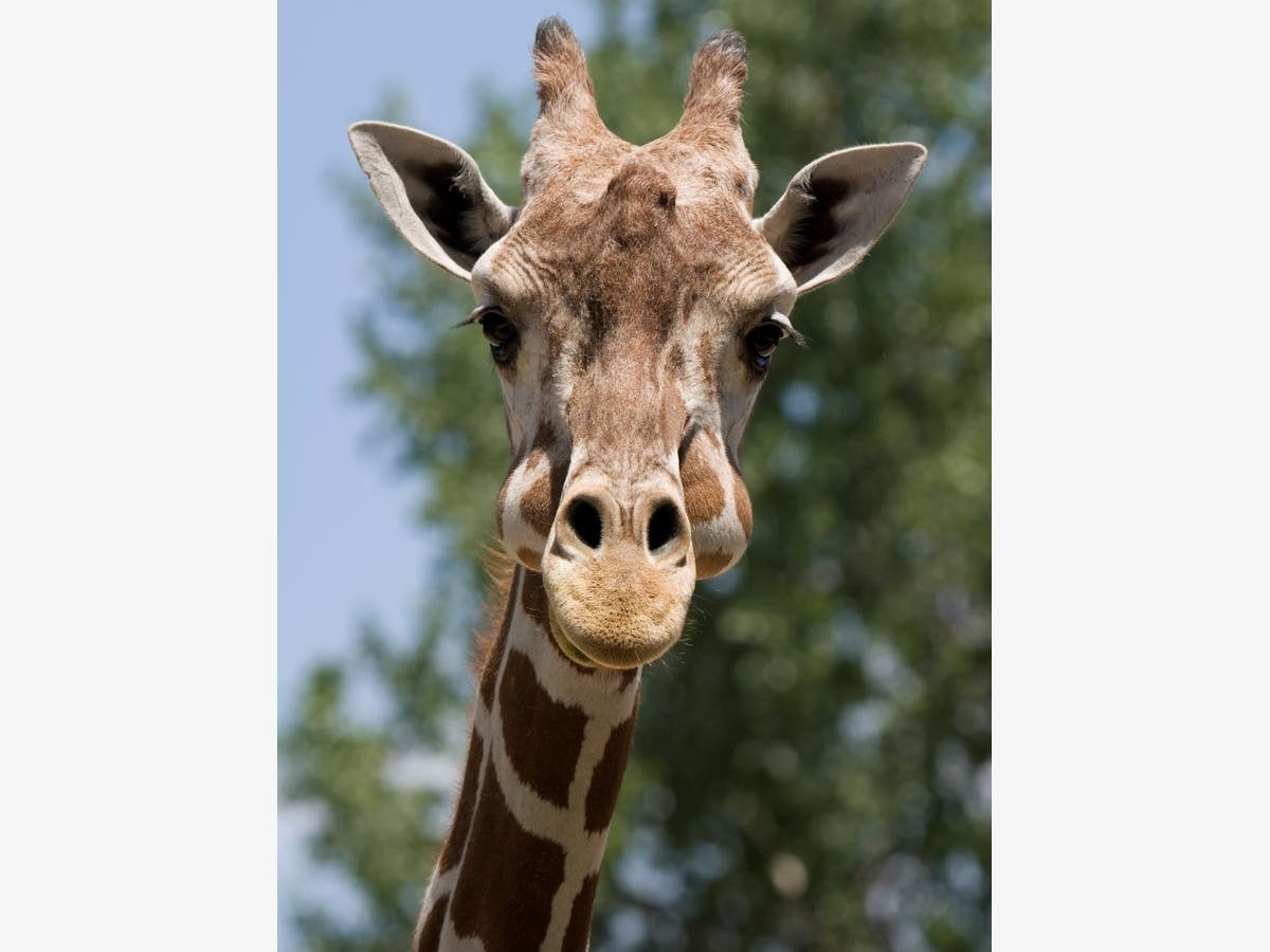 2nd Giraffe Euthanized At Denver Zoo Denver Co Patch