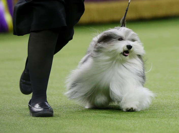 Westminster Dog Show 2020 Winner.The Westminster Dog Show 2019 Winners And Highlights Photos