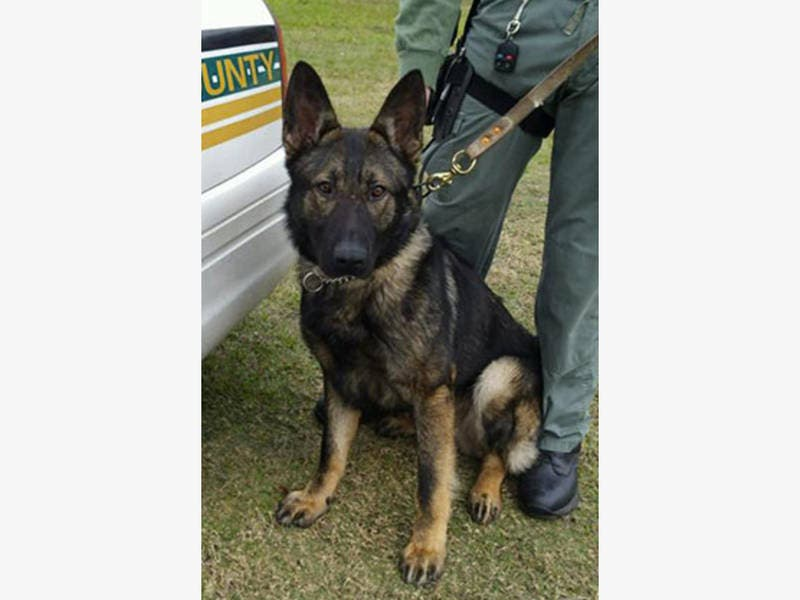 sheriff 39 s k9 nabs accused car burglar land o 39 lakes fl patch. Black Bedroom Furniture Sets. Home Design Ideas
