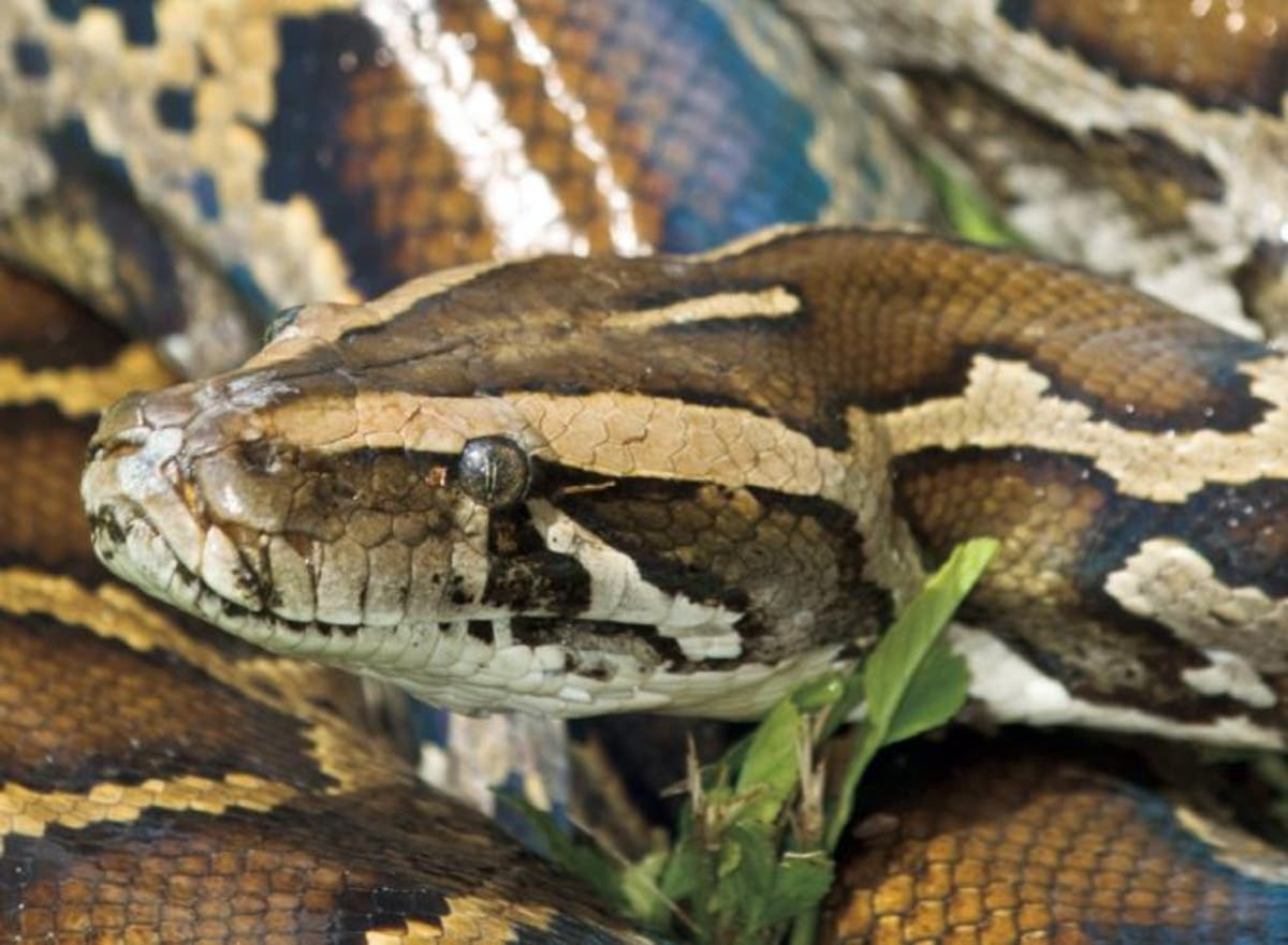 Has That Python Become Too Big To Handle? FWC Hosts Amnesty Day | St. Pete,  FL Patch
