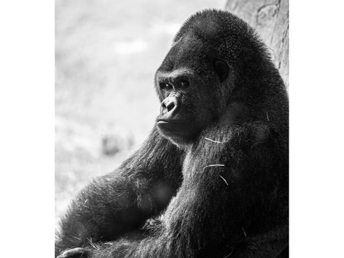 Sim Sim, Busch Gardens Oldest Male Gorilla, Dies
