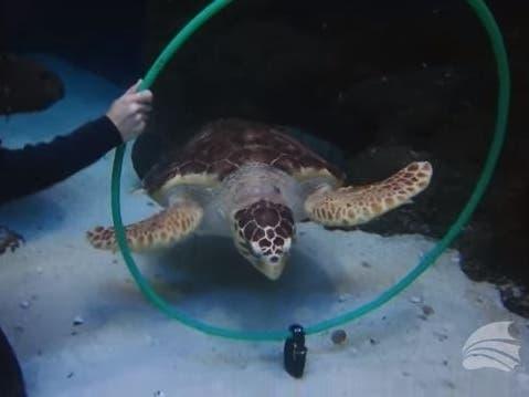 Watch: Shelldon The Loggerhead Turtle Displays Unusual Talent