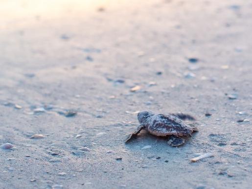 what are loggerhead sea turtles predators