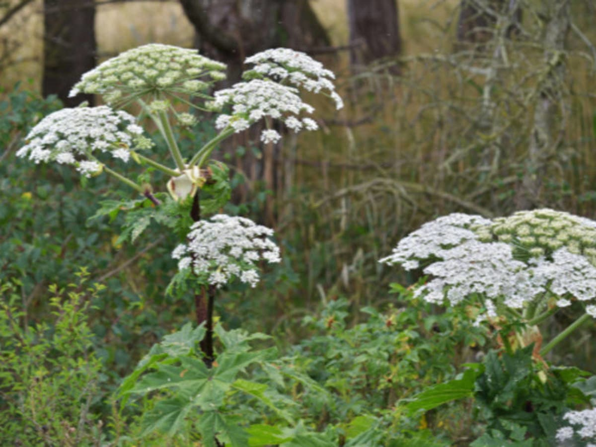 plant that causes 3rd degree burns, blindness grows in